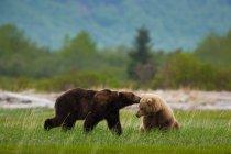 Orsi bruni, Parco nazionale di Katmai — Foto stock