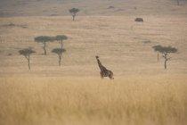 Giraffa reticolata in savana — Foto stock