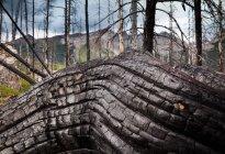 Velho tronco de árvore gnarled — Fotografia de Stock