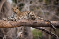Леопард, Национальный парк Чобе — стоковое фото