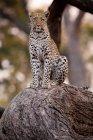 Leopardo, Parque Nacional de Chobe - foto de stock