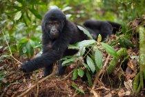 Горные гориллы по делам несовершеннолетних — стоковое фото