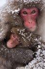 Macacos japoneses, isla de Honshu - foto de stock