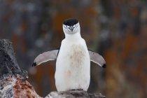 Pinguim Chinstrap com peito manchado de sangue — Fotografia de Stock