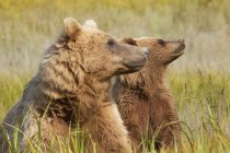 Brown bears, Alaska, USA — Stock Photo