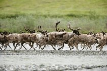Caribou, Alaska, USA — Stock Photo