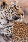 Leopardo tumbado en suelo - foto de stock