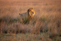 African lion marchant dans le champ — Photo de stock