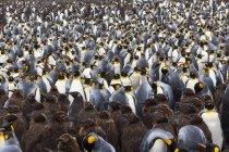 Pinguins rei - colônia de pássaro — Fotografia de Stock
