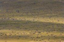 Herd of animals migrating — Stock Photo