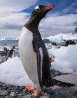 Gentoo пінгвіни, Антарктида — стокове фото