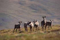 Caribou, Arctic National Wildlife Refuge — Stock Photo