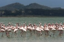 Lesser flamingos, Lake Narasha — Stock Photo