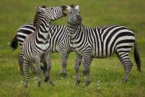 Ebenen Zebras, Ngorongoro Conservation Area — Stockfoto