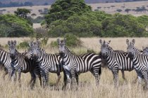 Грант зебр в саванне — стоковое фото