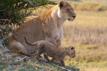 African lion and cub — Stock Photo