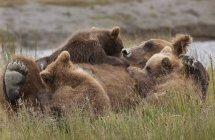 Brown bear cubs nursing — Stock Photo
