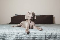 Cachorro Braco de Weimar en una cama - foto de stock
