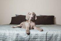 Weimaraner puppy on a bed — Stock Photo