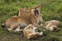 Löwe und Junge spielen — Stockfoto