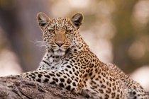 Leopard, Chobe-Nationalpark — Stockfoto
