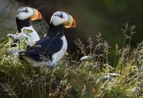 Horned puffins, Lake Clark — Stock Photo