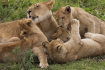 Lion and cubs playing — Stock Photo