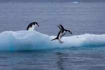 Pinguini di Gentoo sull'iceberg — Foto stock