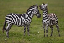 Равнины зебр, Нгоронгоро — стоковое фото