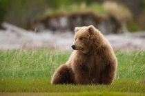 Brown bear, Katmai National Park — Stock Photo