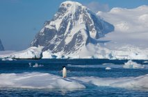 Adelie penguin in wild — Stock Photo
