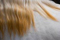 Lusitano horse close up — Stock Photo