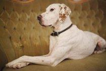 Large dog sitting on sofa — Stock Photo