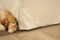 Labrador dog lying on a hearthrug — Stock Photo