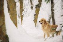 Золотой ретривер собака в снежном лесу. — стоковое фото
