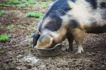 Pig drinking from bucket — Stock Photo