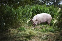 Pig foraging in a pasture — Stock Photo