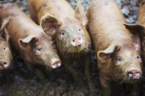 Pigs in muddy field — Stock Photo