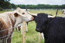 Українська Longhorn і Хайленд великої рогатої худоби — стокове фото
