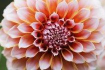 Flor de dalia rosa. - foto de stock