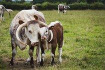 Englisches Langhorn-Rind mit Kalb — Stockfoto