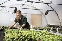 Gardener working in a polytunnel sorting seedlings — Stock Photo