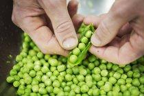 Chef décortiquant des petits pois verts frais — Photo de stock