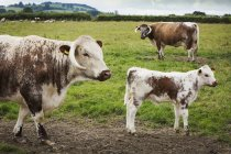 English Longhorn cattle with calf — Stock Photo