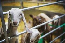 Невелике стадо кіз — стокове фото