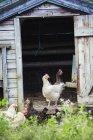 Chickens stood in the door — Stock Photo