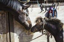 Коні і поні, дивлячись один на одного — стокове фото