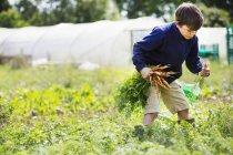 Boy picking carrots — Stock Photo