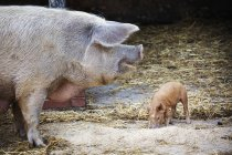 Adult pig and a young piglet — Stock Photo