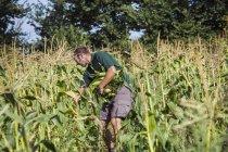 Cosechando maíz dulce - foto de stock